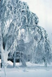 Tree covered in rime ice, near           Niagara Falls, ~1969.